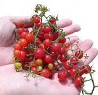 マイクロトマト赤