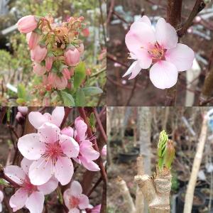 果樹苗木の花や芽