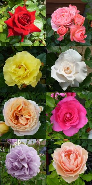 バラの花20150526