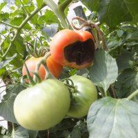 tomatosirigusare