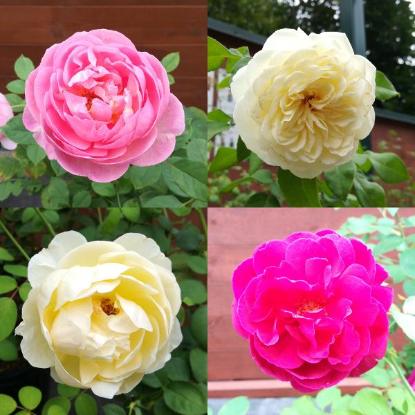 バラの花20170831