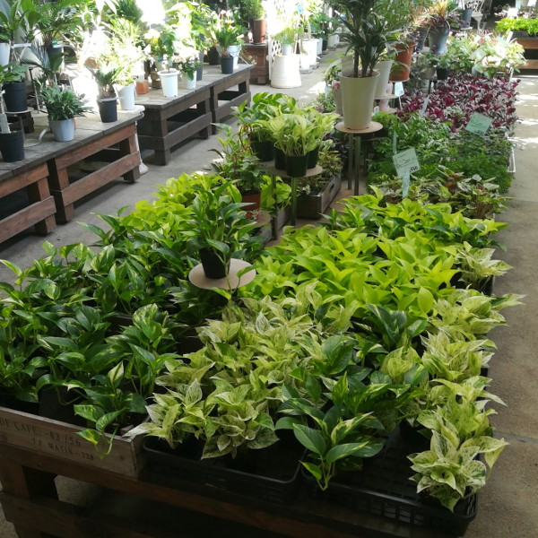 観葉植物の苗