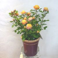 バラ鉢植え