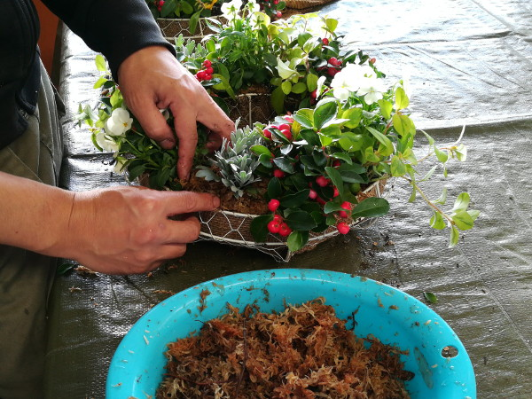 リング寄せ植え水苔