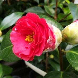 椿 花の里
