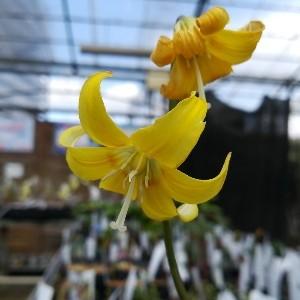 黄花カタクリ パゴタ