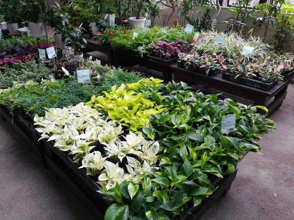 観葉植物苗