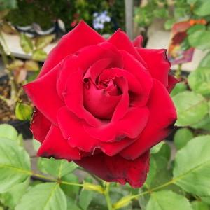 ベルサイユのバラ
