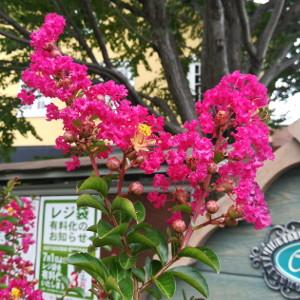 サルスベリ カントリーレッド 濃いピンク