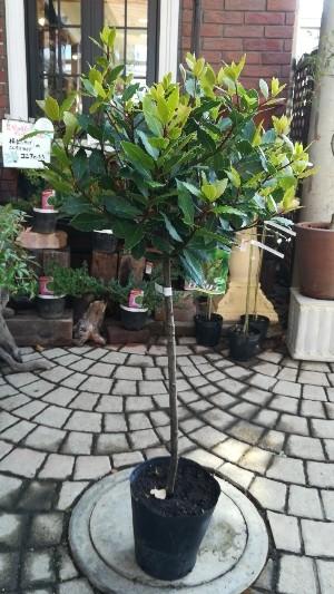 月桂樹(ローレル) スタンダード仕立て