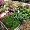 正月寄植え花材