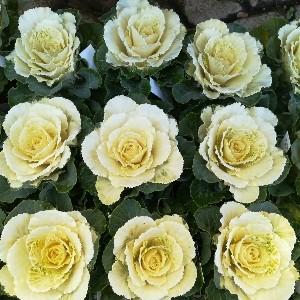 葉牡丹 フレアホワイト