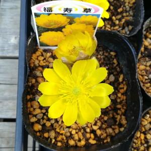 福寿草 花
