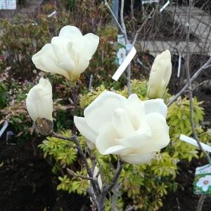 モクレン 白花
