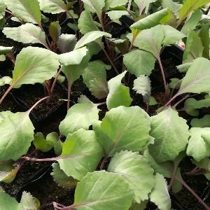 紫キャベツ苗