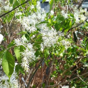 アオダモ花