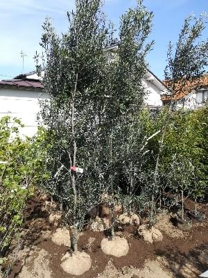 オリーブ庭木用