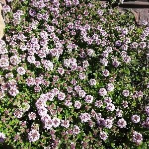 タイムロンギカウリス花