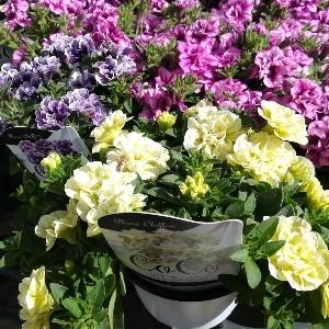 八重咲きペチュニア CoCo