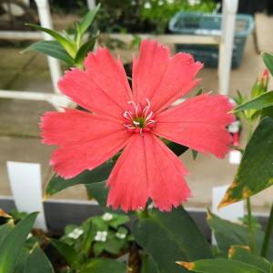 ガンピセンノウ 赤花