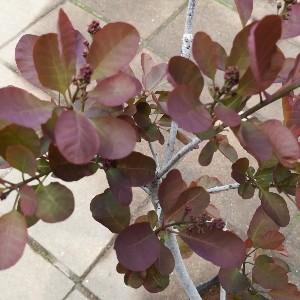 スモークツリー 赤花種