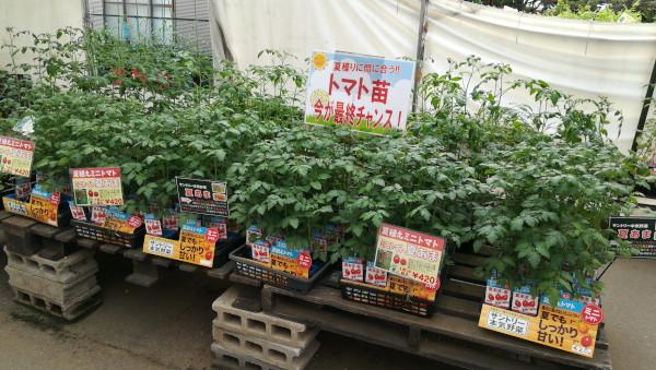 夏植えトマト苗 大株