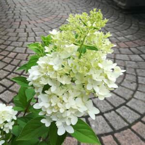 コンパクトノリウツギ キャンドル花