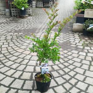 矮性サルスベリ ウィズラブ 苗木