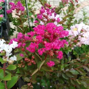矮性サルスベリ ウィズラブ 花