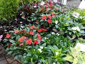 ガーデンニューギニアインパチェンス