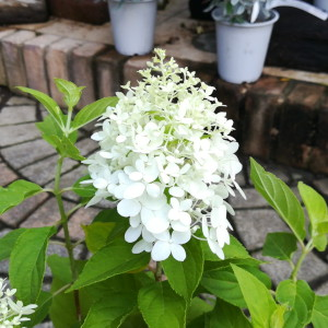 ノリウツギ リトルスプーキー 花
