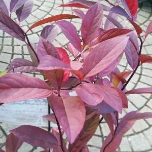 コバノズイナ 紅葉