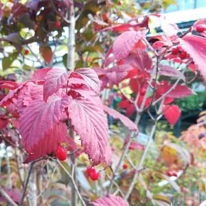 オトコヨウゾメ 紅葉 実